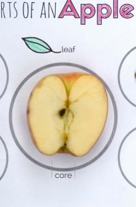 parts of an apple activity and printable