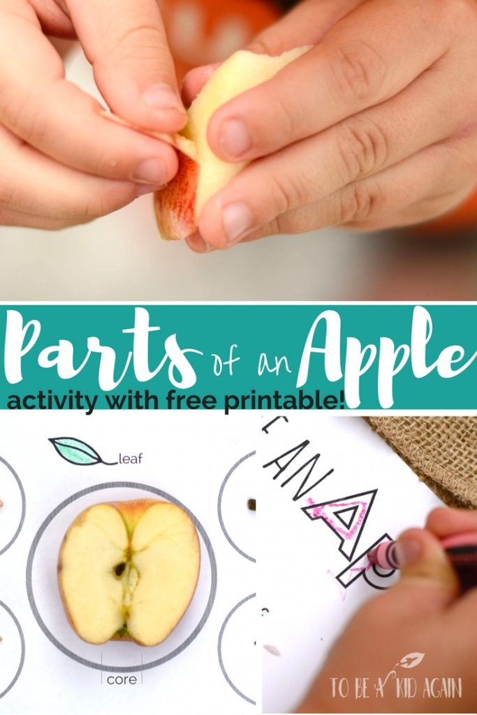 parts-of-an-apple