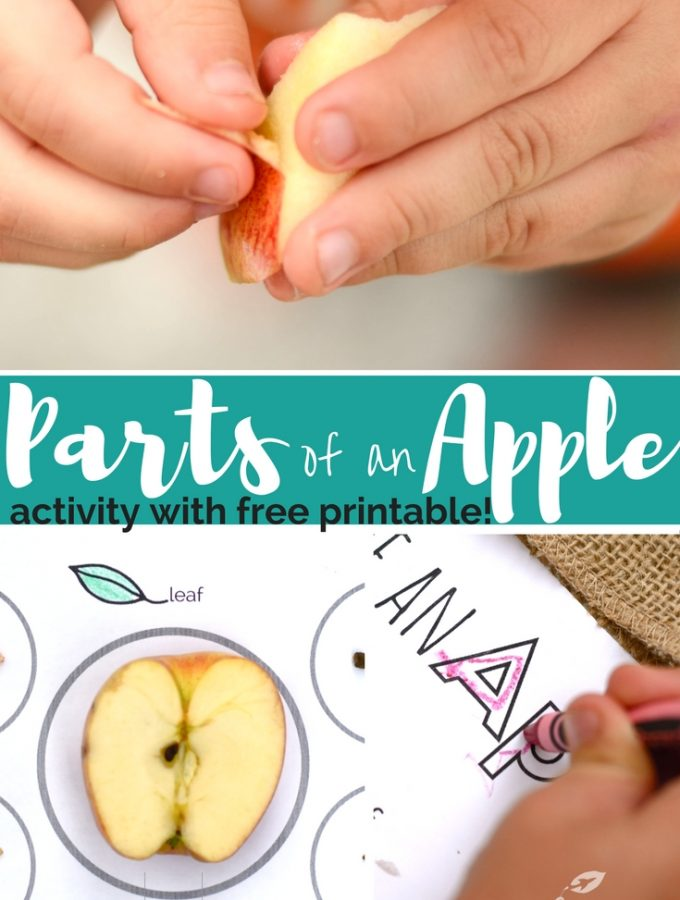 Parts of an Apple: Activity + Free Printable